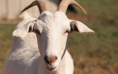 Goats HD wallpapers