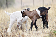 Lovely Wallpapers Of Baby Goats