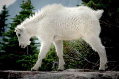 Mountain Goat Jumping