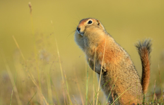 Wallpapers tail gopher stand funny American gopher image