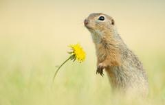 Wallpapers flower background dandelion rodent Gopher