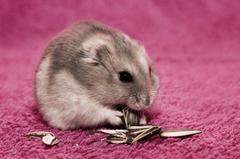 Hamster HD Wallpapers
