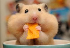 Hamster Wallpapers 10