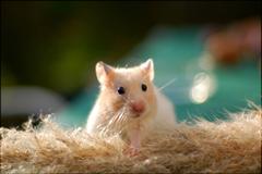 Cute Hamster Wallpapers Desktop Wallpapers