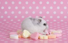 Hamster Computer Wallpapers Desktop Backgrounds