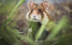 plants macro animals mammals hamster Wallpapers HD Desktop and