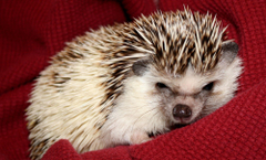 K Hedgehogs Wallpapers High Quality