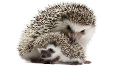 Sweet Hedgehogs Wallpapers