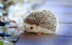 Hedgehogs live wallpapers