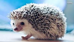 Cute Baby Hedgehogs Cute baby hedgehog wallpapers