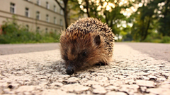 Hedgehogs Tag wallpapers Animals Hedgehogs Ocean Wallpapers