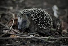 Animals Monochrome Animals Hedgehogs Outdoors Wild Animal