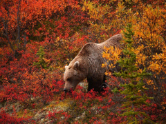 Pix For Hd Grizzly Bear Wallpapers