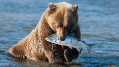 Bear Grizzly Bear Fish wallpapers