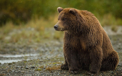 grizzly bear sits and watches backgrounds