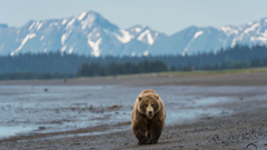 Grizzly Bear North American Brown Bear Wallpapers