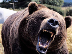 Wallpapers For Angry Grizzly Bear Wallpapers