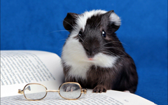Guinea Pig HD Wallpapers