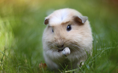 K Guinea Pig Wallpapers High Quality
