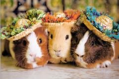What Breed of Guinea Pig Are You
