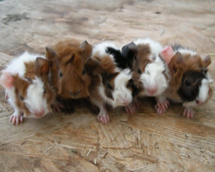 undefined Pictures Of Guinea Pigs Wallpapers