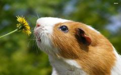 Guinea Pig Smelling Dandelion Wallpapers