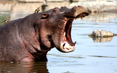 Yawning hippo HD Wallpapers