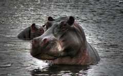 Stroppy hippo HD Wallpapers