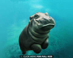 Baby Hippo Wallpapers Outstanding Cute Baby Hippo Wallpapers S