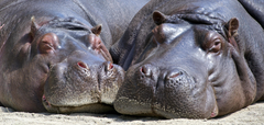 Black Hippopotamus Laying on Ground during Daytime Stock Photo