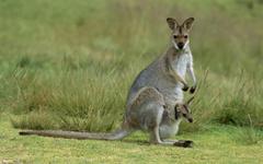 Kangaroo Wallpapers