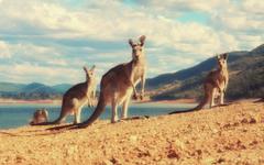 Best 35 Kangaroo Wallpapers on HipWallpapers
