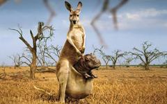 Kangaroo with Hippopotamus graphing wall paper HD wallpapers