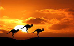 Australian Kangaroo During Sunset Wallpapers