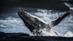 Humpback Whale 4k Ultra HD Wallpapers
