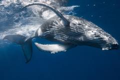Photo Whale Humpback whale Animals
