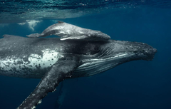 Wallpapers sea the ocean family the baby whale humpback