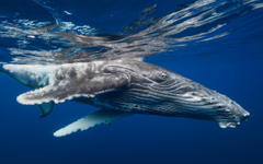 Humpback Whale HD Wallpapers