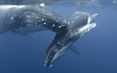 Humpback Whale Mother And Baby Hd Wallpapers backgrounds