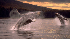 Whales humpback whales wallpapers