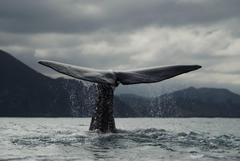 Humpback Whales Wallpapers Desktop