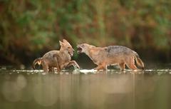 Wallpapers fight in the water jackals image for desktop