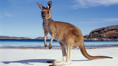 Image Kangaroo Australia Beach Sea Animals