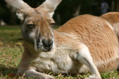 File Kangaroo Wallpapers