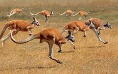 Wallpapers Kangaroo Running Animals