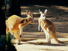 Click here to in HD Format Kangaroo Conversation