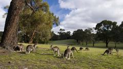 Kangaroo Eating Grass Wallpapers Computer