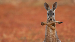 A red kangaroo in the Sturt Stony Desert Australia