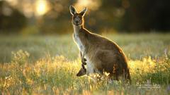 Australian Kangaroo And Joey Image Pictures