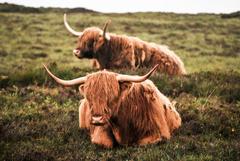 Highland Cattle 4k Ultra HD Wallpapers